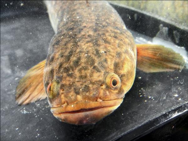 泰國鱧為外來魚種。(水雉生態教育園區提供)