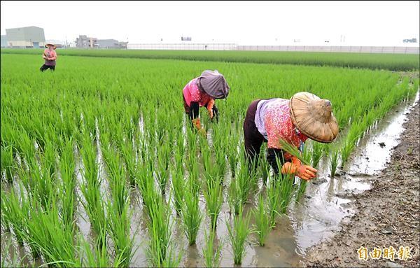 稻田除能改善空氣品質,還有防洪、水資源涵養及水質淨化機能等經濟效益。(記者黃鐘山攝)