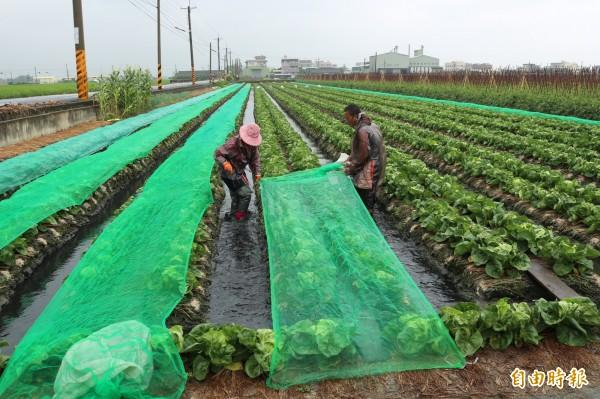 農民才剛領到蘇迪勒颱風的農損補助,還來不及修復,又遇上杜鵑颱風。照片與本文無關。(資料照,記者詹士弘攝)