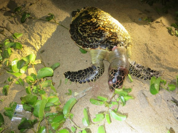 後灣海灘出現一隻死亡玳瑁。(記者蔡宗憲翻攝)