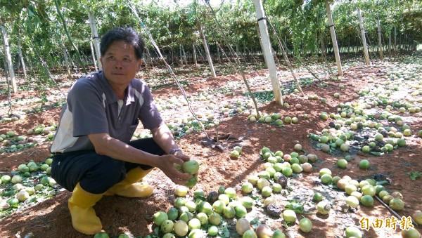 杜鵑颱風橫掃,全國產量最大的埔里大坪頂百香果嚴重落果,農民看著心血落滿地,欲哭無淚。(記者佟振國攝)