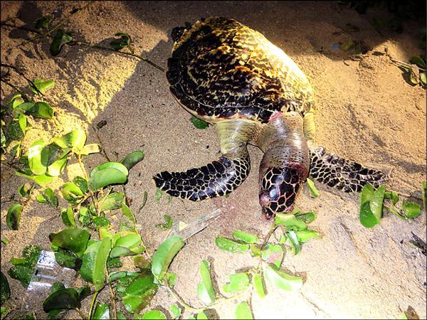 後灣海灘前晚出現一隻死亡玳瑁。(記者蔡宗憲翻攝)