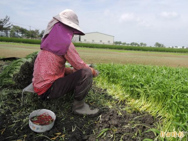 產地蔬菜受損不嚴重,菜價今天回跌了。(記者黃淑莉攝)