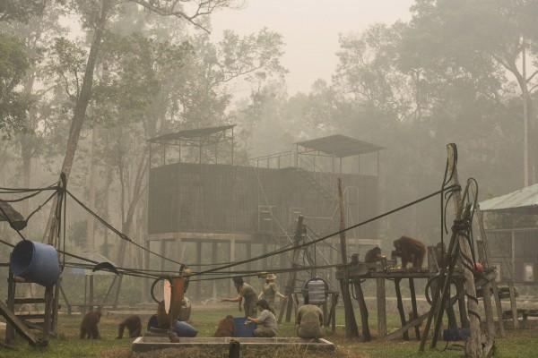 印尼因森林大火霾害嚴重,影響全國上下包括森林保護區的紅毛猩猩及其他動物,空氣品質低落。(路透)