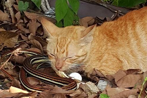 馬來西亞一隻貓咪為了保護幼貓與蛇大戰,最終咬死蛇。(圖片擷取自詩華資訊)