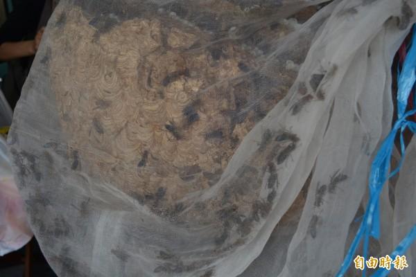 美女捕蜂達人黃玉芬所摘的黑尾虎頭蜂窩體積甚大,內有上萬隻虎頭蜂。(記者湯世名攝)
