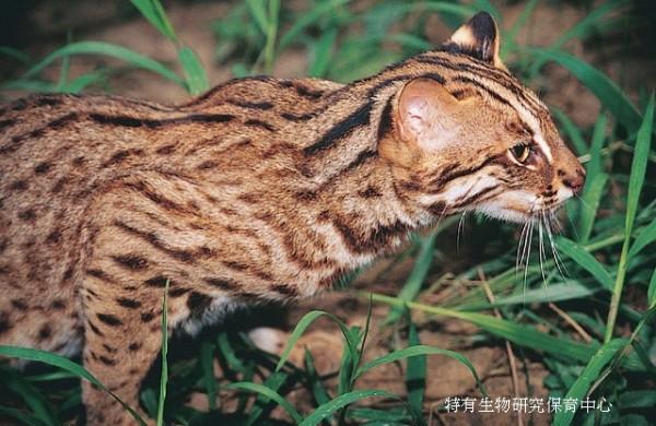 石虎長得像貓,會讓一般人誤以為是一隻超大隻的貓。(特有生物研究保育中心提供)