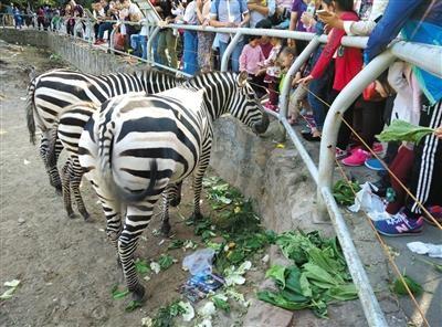部分遊客會攜帶蔬果、食物,在北京動物園內到處餵食動物,逼得園方不得不將部分被過度餵食的動物進行隔離。(圖擷自新京報)