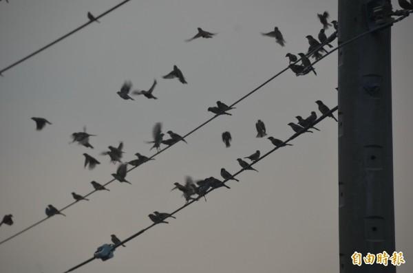 田裡麻雀數量多得驚人,造成農作的損失,讓農民很頭痛。(記者葉永騫攝)