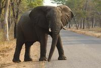 一隻大象正在穿越萬基國家公園的路口。(美聯社)