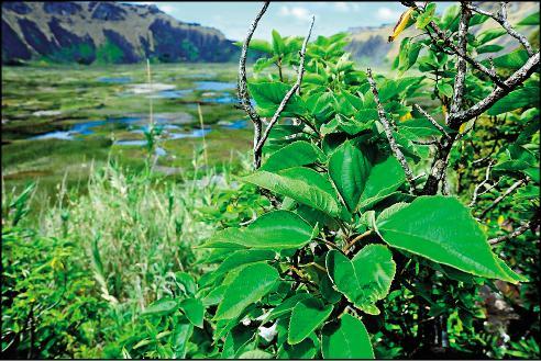 台大森林環資系跨校合作,從植物基因中證實,台灣是「太平洋構樹」的原鄉,成為南島語族起源自台灣的「出台灣說」有力證據。(台大提供)