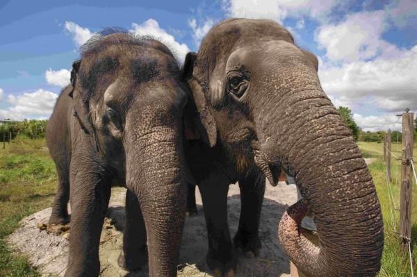 近日研究發現大象具有特殊基因,可望成為人類對抗癌症的重要線索。(路透)