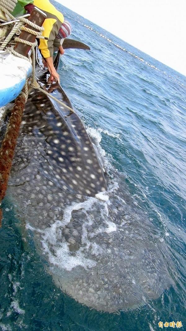 海洋大學鯊魚永續研究中心啟動研究計畫,試圖探究台灣東南海域可能就是鯨鯊誕生地。(圖為去年馬公鎖港定置網再傳鯨鯊誤闖。資料照,記者劉禹慶攝)