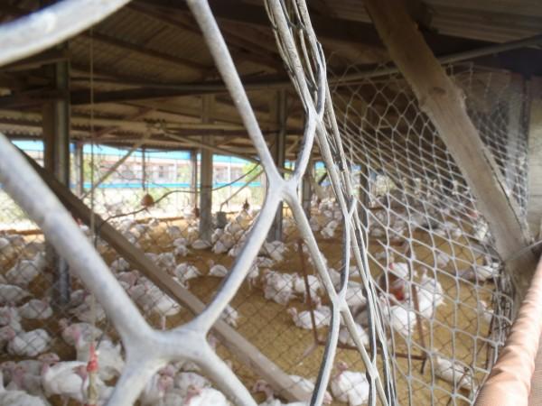 東勢鄉一火雞場爆發禽流感,近千隻火雞被撲殺。(圖:民眾提供)
