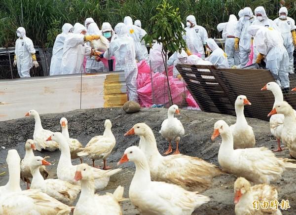 桃園市一家禽屠宰場由南部進場屠宰鵝隻,昨天確診900多隻鵝隻屠體感染H5N2高病原性家禽流行性感冒,示意圖,與本新聞無關。(資料照,記者謝介裕攝)