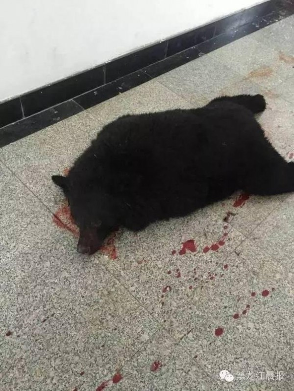 中國黑龍江一中學日前發生黑熊誤闖校園意外,最後警方將熊擊斃。(圖擷自《黑龍江晨報》)