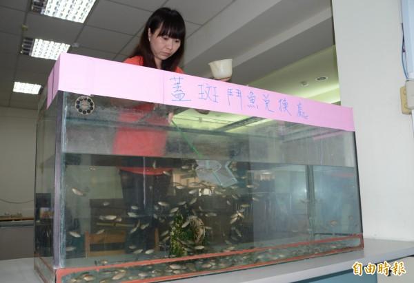 仁德區公所就曾提供民眾兌換蓋斑鬥魚,協助防疫。(記者吳俊鋒攝)