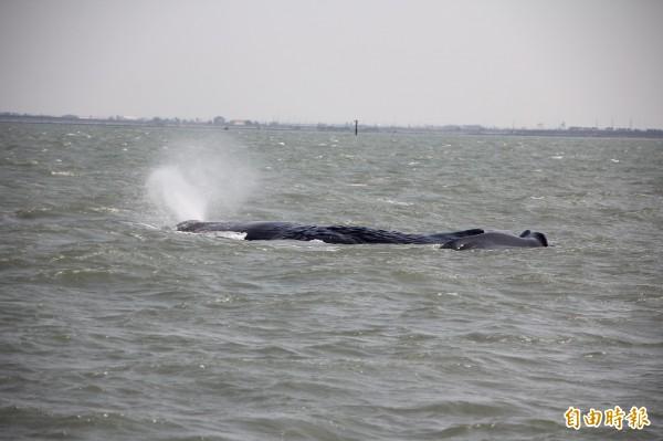 嘉義東石外海15日發現抹香鯨擱淺,專家學者擔心抹香鯨已受傷,想游回大海,「恐怕回不去了」。圖為抹香鯨在噴氣。(記者林宜樟攝)