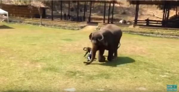 大象衝向飼育員,前膝跪地,繞著飼育員打轉,似乎相當擔心,也可能是要保護飼育員,以免再被攻擊。(圖片擷取自YouTube)
