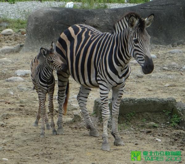 台北市立動物園也有國慶寶寶,園中的查普曼斑馬當日生產。(台北市立動物園提供)