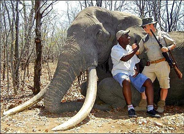 一名德國人10月間在辛巴威東南部戈諾雷若國家公園獵殺一隻據信是30年來在非洲遭獵殺體型最大的大象後,與獵人嚮導和象屍合照炫耀。(圖取自網路)