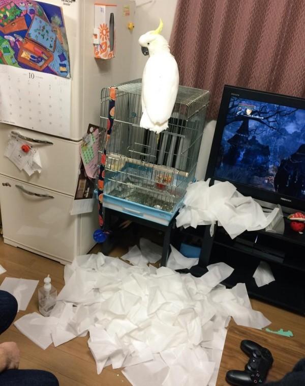 本太郎將衛生紙抽得滿地都是。(圖擷自Twitter)