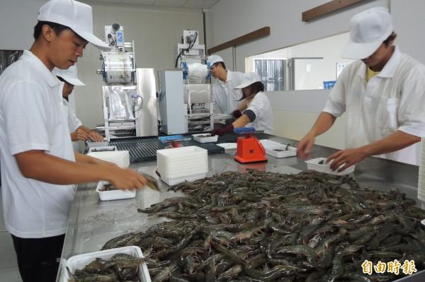 台東五家農會投資深層海水產業,新推出白蝦上市。(記者張存薇攝)