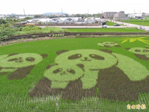 稻田彩繪觀景台快擠爆,農會規劃拆除改鋼構重建。(記者蔡政珉攝)