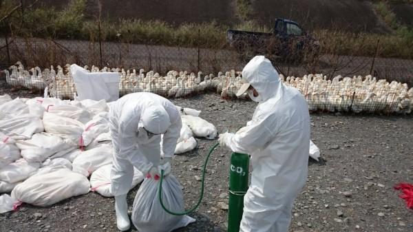 屏東1處肉鴨場再確診有新型H5亞型高病原性禽流感病毒,今天上午由防治所完成撲殺作業。(資料照,屏東縣政府提供)