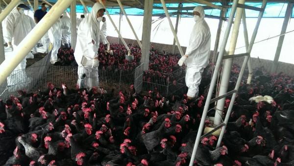 屏東雞場確診禽流感。(資料照,記者鄭旭凱翻攝)