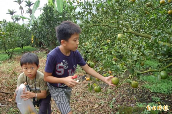 東山椪柑全面採收,吸引不少親子上山採果。(記者王涵平攝)