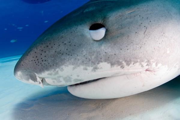 被鯊魚襲擊的湯尼.李把手指插入鯊魚的眼睛,鯊魚眼睛被搓瞎後落荒而逃。(圖截自GETTY IMAGES/JONATHAN BIRD)