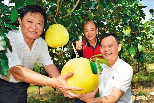 彰化縣花壇鄉帝王柚適逢產期,體積比一顆籃球還要大。(記者湯世名攝)