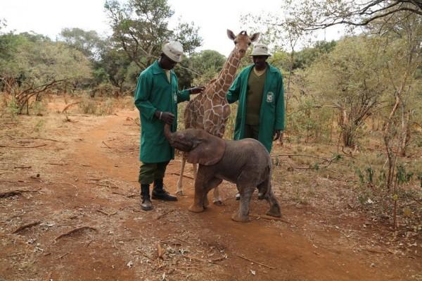 小長頸鹿和小象和飼育員互動。(圖擷取自《Mashable》)