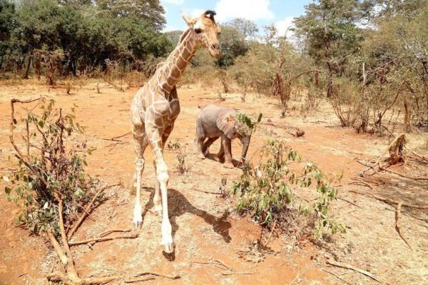 非營利組織大衛謝德瑞克野生動物信託,收容了小長頸鹿和小象,失親的牠們互動良好。(圖擷取自《Mashable》)