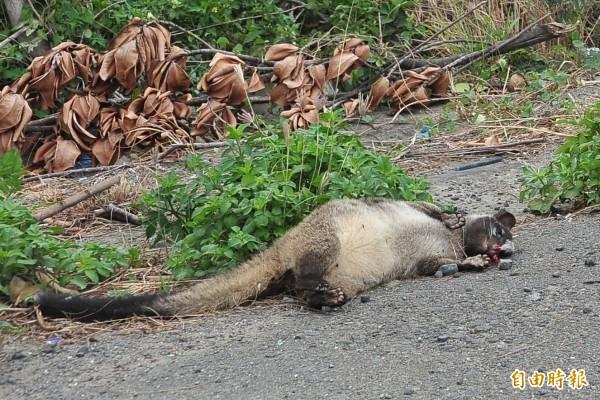 嘉義縣梅山鄉一名近8旬老婦人遭狂犬病鼬獾咬傷。圖非本案鼬獾。(資料照,記者蔡宗憲攝)