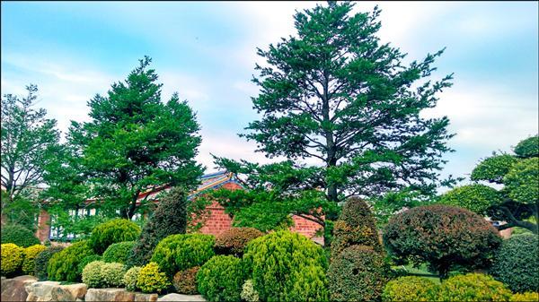 魏應交、魏應充兄弟買珍貴台灣油杉,種在成美文化園區被判拘役90天、50天。(資料照)