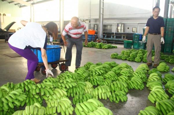 南投產地香蕉昨以每公斤拍賣價70元成交,創下有史以來最高價格。(資料照,記者佟振國攝)