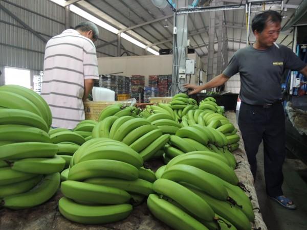雖然販售價格相當可觀,但有部分蕉農面臨無蕉可賣的情況。(資料照,記者余雪蘭攝)