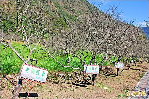 為保護部落老梅樹並支持弱勢學童求學,農民推「老梅股東」計畫,邀請民眾贊助做公益。(記者佟振國攝)