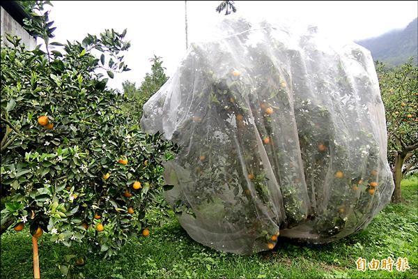 台東農改場研發防猴網罩,效果不錯,猴子不敢接近,農民成功保住果實。(記者張存薇攝)
