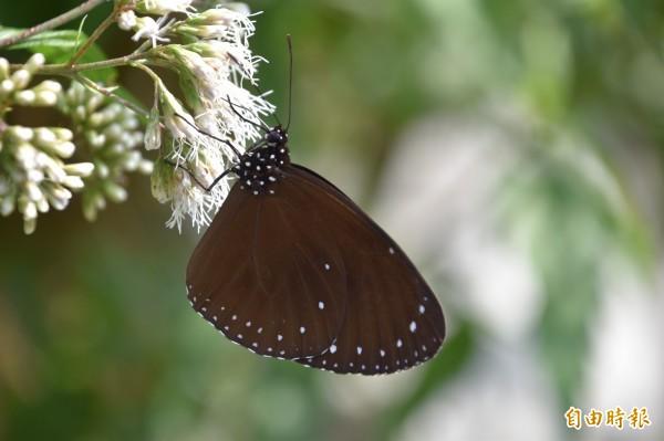 紫斑蝶每年秋冬之際,飛抵茂林越冬棲息。(記者蘇福男攝)