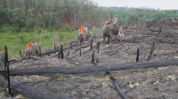 印尼蘇門答臘當地消防人員,近日請出一群大象深入林地協助滅火。(圖擷自GlobalNews)