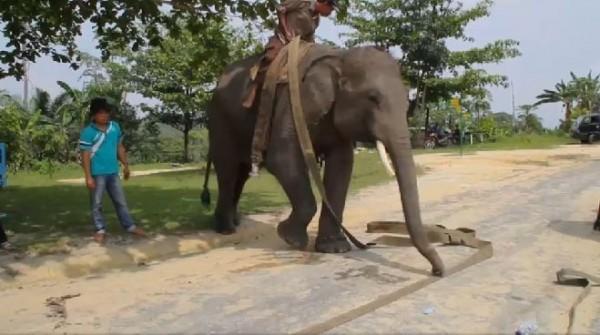 這些訓練有素的大象早先接受的訓練,是協助執法人員在林地尋找非法侵占的民眾,現在則是協助打火弟兄。(圖擷自GlobalNews)