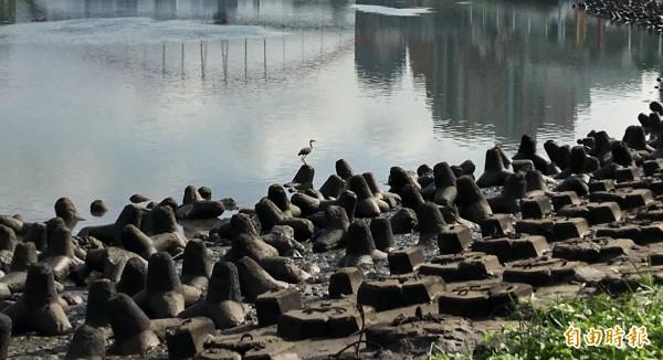 中油公司污染基隆河,水鳥停駐在滿是油污的消波塊上,這次漏油事件恐會對生態造成影響。(記者趙新天攝)