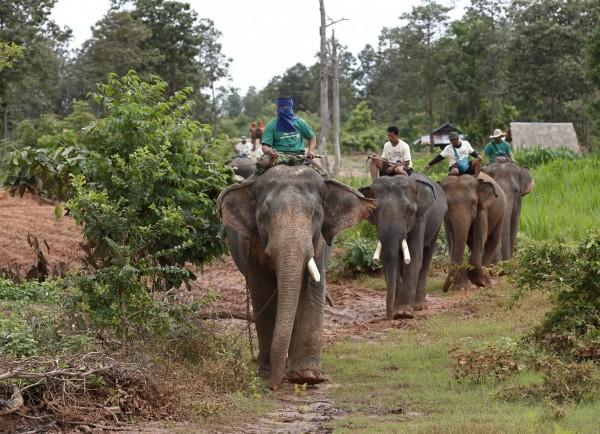 泰國素林省政府為「流浪大象」問題撥款,並和動物組織合作,要照顧這些流浪大象。圖為資料照,與新聞無關。(歐新社)