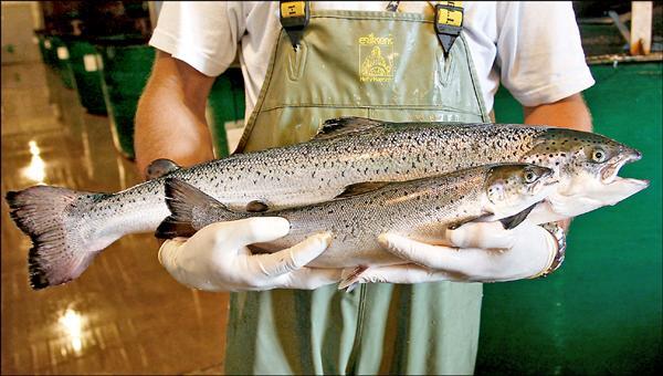 獲得美國食品藥物管理局核准上市的AquaBounty公司所生產的基改鮭魚(後),可以在相同時間內比養殖鮭魚長得還大。前為野生鮭魚。(取自紐約時報)