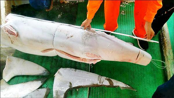 海巡署八二大隊在新港漁港查獲東港籍漁船非法捕黑鯊。(記者王秀亭翻攝)