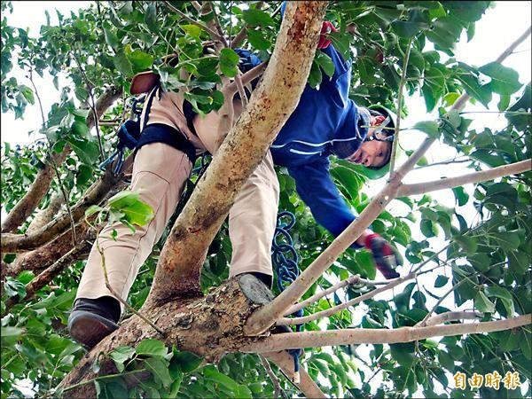 日本樹醫師山下得男今天早上攀上金城武樹,再次檢查枝葉的生長狀況。(記者王秀亭攝)