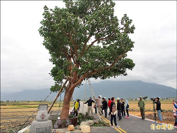 日本樹醫師及大安森林公園之友基金會團隊,共同檢查金城武樹的復原狀況。(記者王秀亭攝)